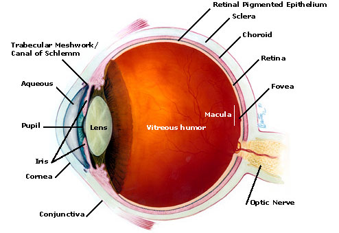 Anatomy of Eye